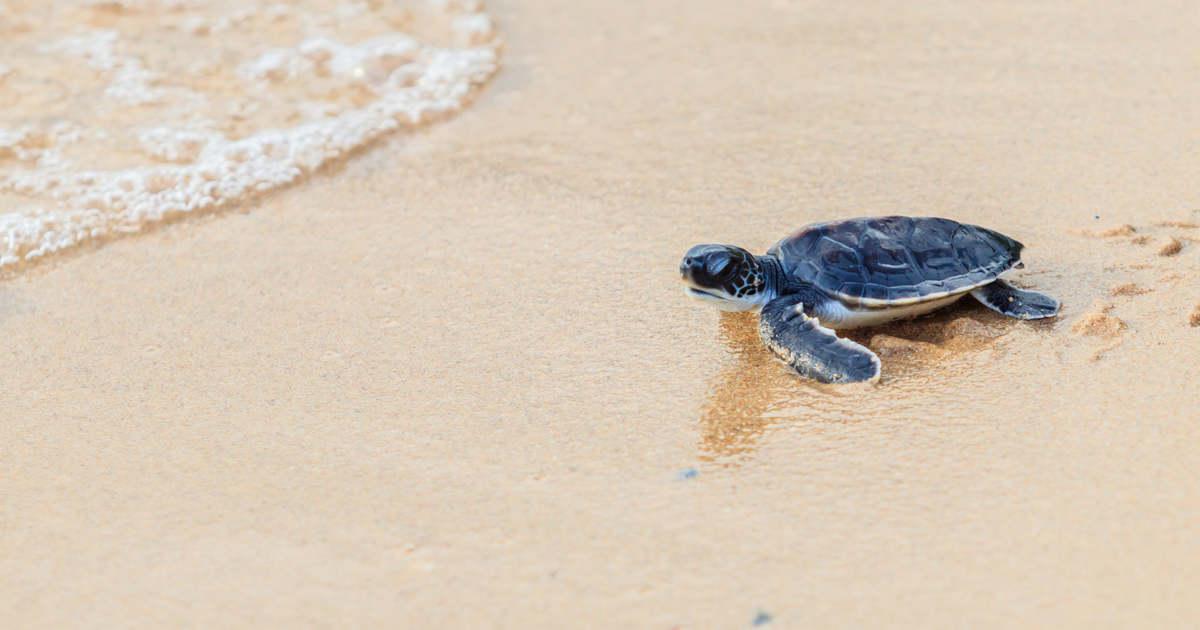 Tengeri teknősök bukkantak fel egy riói repülőtér közelében